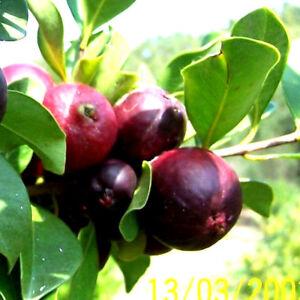 Guave Fraise-guave Psidium Littorale Douce Rouge Fruits Chez Nous Aussi, Chambre-afficher Le Titre D'origine 100% D'Origine