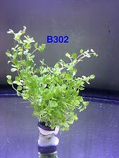 Micranthemum 'Monte Carlo' Bundle Aquatic Plant B302