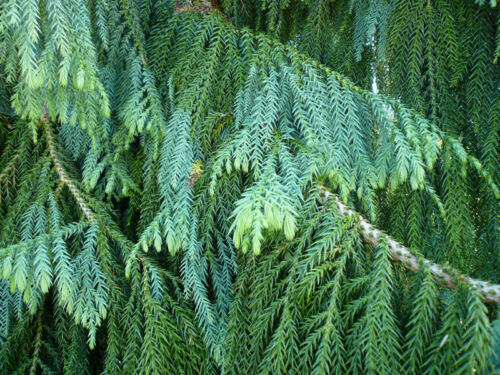 Evergreen Conifer Tree Seeds Taiwania Cryptomerioides Chinese Coffin Tree