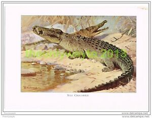 NILE-CROCODILE-BOOK-ILLUSTRATION-PRINT-LYDEKKER-c1916