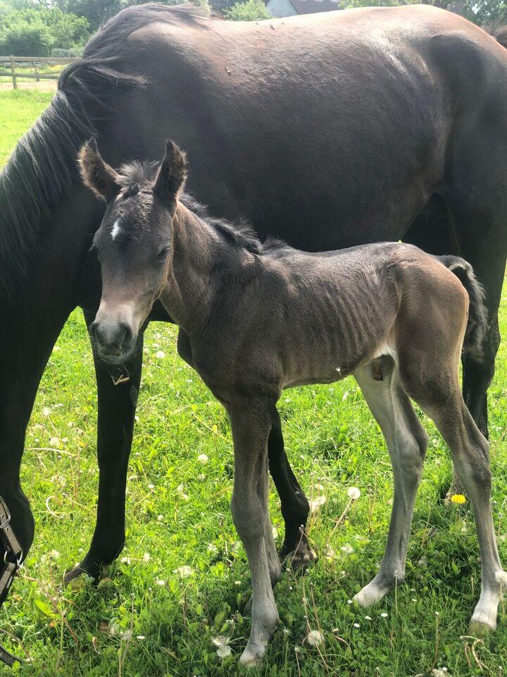 Dansk Sports Pony (DSP), hingst, 0 år