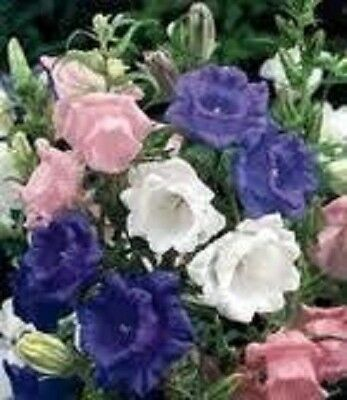 100 CANTERBURY BELLS CROWN MIX Campanula Medium Flower Seeds + Gift & Comb S/H