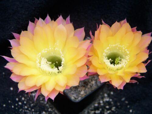 1000 Graines Echinopsis Trichocereus hybrides Chic MEX Bex Fresh seeds rare