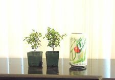 2 pink flowering serissa for mame shohin bonsai tree super tiny