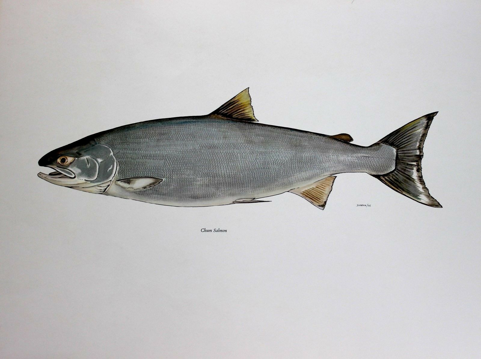 David Denbigh Lithograph Limited Edition Pacific Coast Chum Salmon 1974 Rare