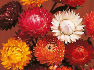 STRAWFLOWER SEEDS APPROX 200 SEEDS A BEAUTIFUL ADDITION TO ANY GARDEN