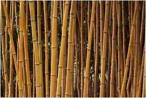 bambus phyllostachys aureosulcata aureocaulis 30 40 cm. Black Bedroom Furniture Sets. Home Design Ideas
