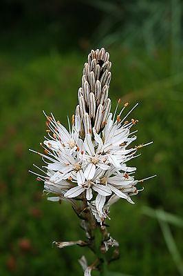 Ysop Bleu Floraison Hyssopus officinalis 300 graines quantités remise!!!