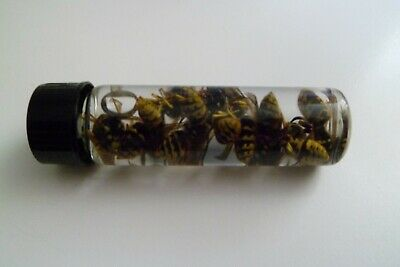 ⭐️⭐️⭐️⭐️⭐️ 10  REAL  YELLOW JACKET WASP V Pensylanica WET SPECIMEN INSECT