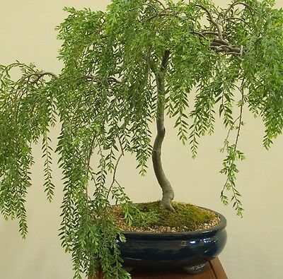 Silver Weeping Tea Tree Rare Hardy Ideal Indoor Outdoor Bonsai Fresh Seeds Ebay