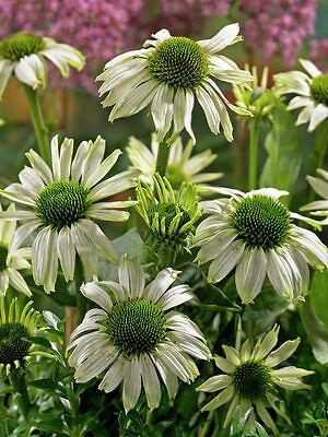 Echinacea Purpurea Seeds - JADE -Perennial Coneflower- MEDICINAL HERB - 15 Seeds
