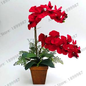 100 PCS Seeds Orchid Bonsai Flowers Flores Home Garden Phalaenopsis Plants NEW R