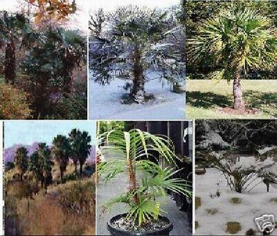 winterhartes Palmen-Sortiment für den Garten : 6 verschiedene Sorten / Samen