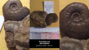 Pleydellia-buckmani-Ammonite-Fossil-Francia-Jurasico