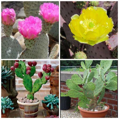 Semi Freschi 18.C frutti commestibili Hardy A FICO D/'INDIA Cactus collezione