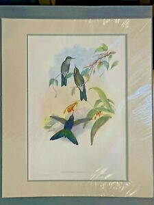 Original-Hand-Colored-Lithograph-Hummingbirds-Gould-Blue-Mantled-Thornbill