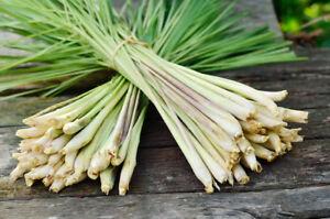 Asian seeds lemmon grass