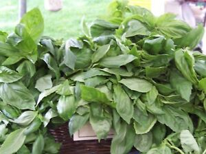 basil-LICORICE-RARE-SCENTED-BASIL-culinary-herb-225-seeds-GroCo