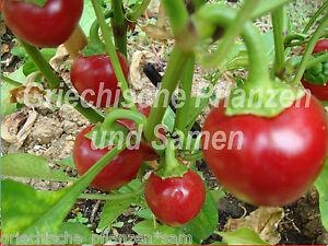 CALABRIA-Chili-Gewuerz-Paprika-Kirschchill-10-frische-Samen-Balkon