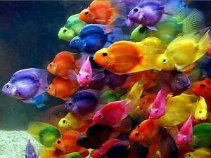 Cichlid Fish | X5 Assorted Jellybean Parrot Cichlid 1 Free Total 6