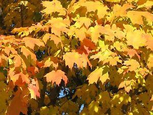 Acer Saccharum Sugar Maple Tree Seeds Ebay