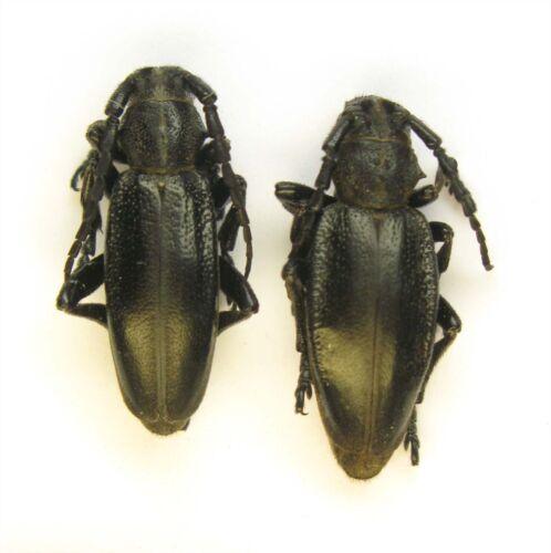Cerambycidae Dorcadion carinatum pair