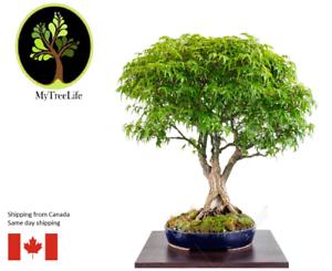 50 pcs bonsai maple tree seeds Grow your own bonsai