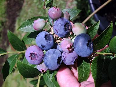 Northern Highbush Blueberry - Vaccinium Corymbosum - 25 seeds  - Healthy Berries