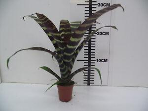 Bromeliad Vriesea Era Live Tropical Vivarium Terrarium Plant Ebay