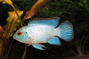 Paire De Nannacara Sp. Neon Bleu (dwarf Cichlid)