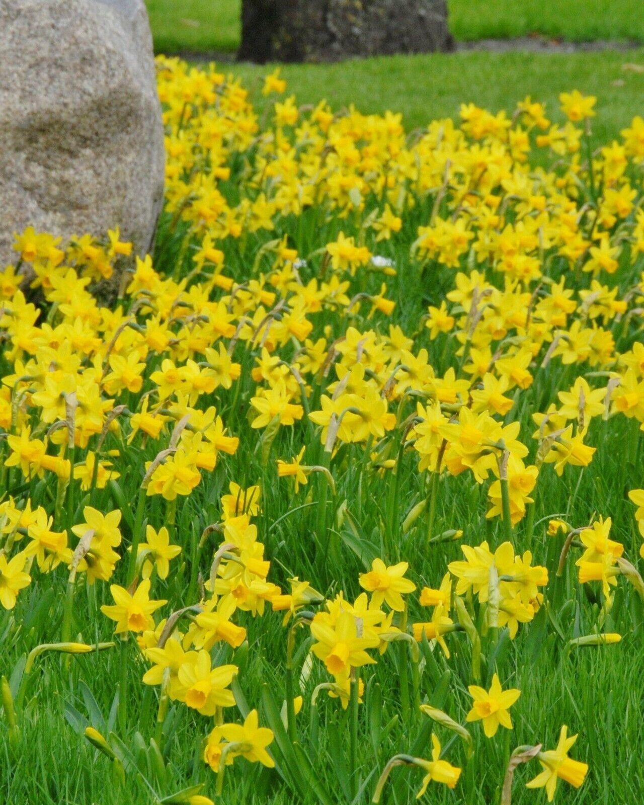 Narcissus Daffodils Tete A Tete Bulbs Fresh Spring Flowering Dwarf Miniatures