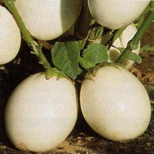Solanum Melongena Golden Eggs Ornamental Eggplant 50 Seeds #3080
