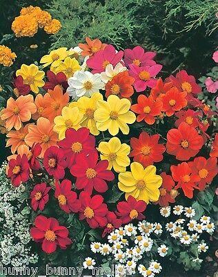 "Dahlia ""Mignon""choice Mix, 100 Seeds, Beautiful Cut Flower,"