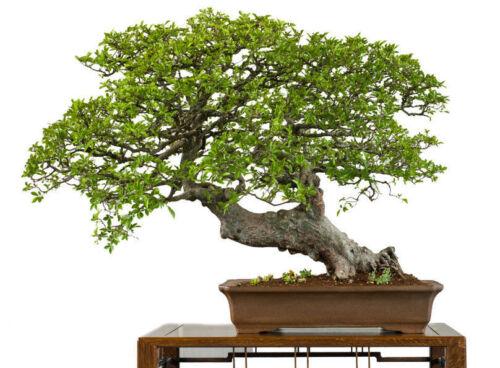 ein toller Bonsai die schöne Ulme grandios !