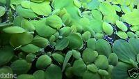 15 Dwarf Water Lettuce Floating Plants Aquarium Pond Limited Time Sale