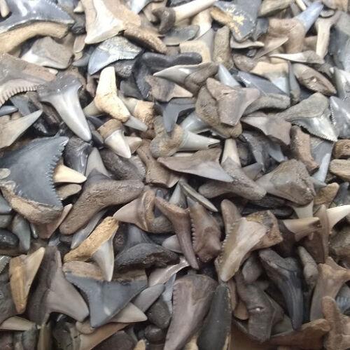 """100 Fossilized Shark Teeth 1//2/"""" Shark Tooth Pendant Peace River /& Beach"""
