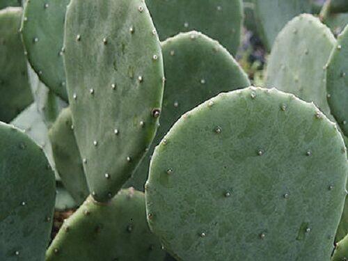Spineless Prickly Pear Cactus 1 LARGE Sized Pad OPUNTIA CACANAPA /'ELLISIANA/'
