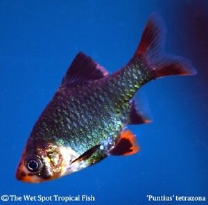 10 green tiger barb puntius tetrazona live for Jan s tropical fish