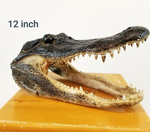 "Authentic 12/"" Alligator Head 10/"" Alligator Head 5-6/"" Alligator Head /& Key Chain"