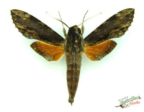 hawk-moth Erynnyis oenotrus SET x1 sphinx Guatemala insect collector art