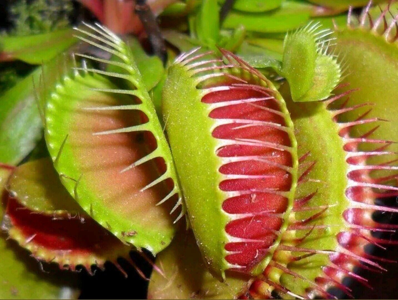 VENUS FLYTRAP Carnivorous seeds DIONAEA MUSCIPULA FRESH from grower various form