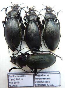 Carabus megodontus purpurascens viridilucens (2 pairs A1) from FRANCE
