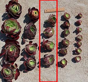 Succulent-Aeonium-Velour-50-60-mm-cuttings-Drought-tolerant-plant-20-cuttings