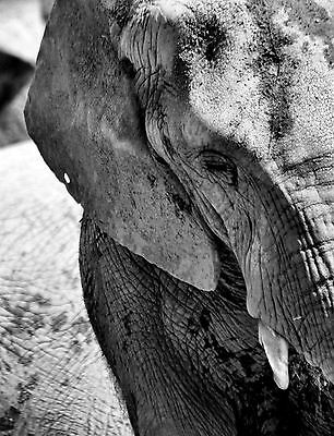 Lámina-Elefante Mother /& Baby Blanco Y Negro Foto Poster Animal Arte