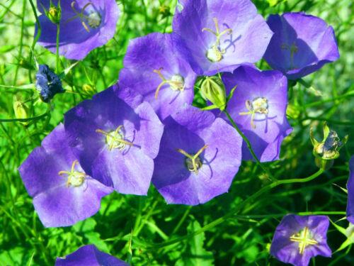 PERENNIAL FLOWER 5400 SEEDS TUSSOCK BELLFLOWER BLUE Campanula carpatica