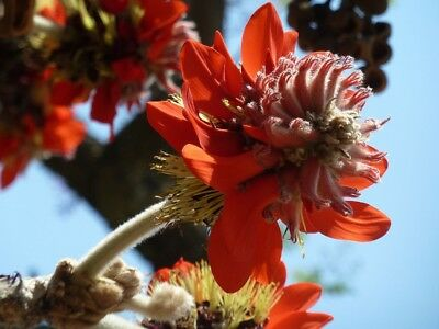 5 Fresh Seeds Erythrina arborescens Himalayan Coral Tree