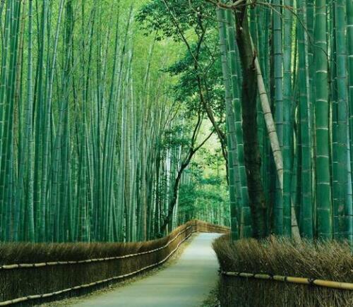 Bambusa Bambos Bambusa Arundinacea 500 Seeds Giant Bambu
