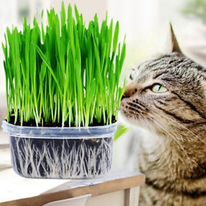 Am-Organic-Wheat-Cat-Grass-SEEDS-GROW-YOUR-OWN-HAPPY-KITTY-amp-READY-GROWN-CATNIP