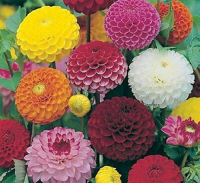 FLOWER DAHLIA POMPONE DOUBLE MIXED - 150 FINEST SEEDS