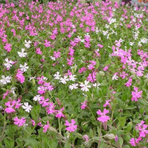 1000 pcs Nodding Catchfly Silene Pendula flower seeds
